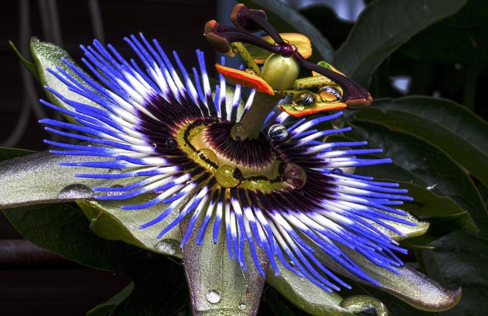 Fleur de passion passiflore bleue photo gratuite sur pixabay - Passiflore fruit de la passion ...