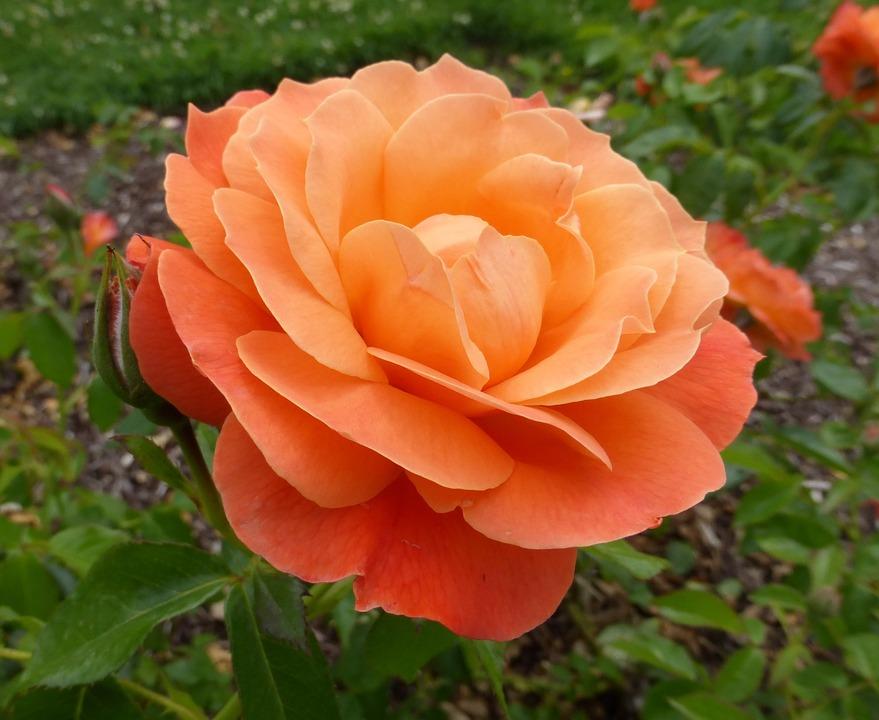 free photo orange rose rose flower blossom free image on pixabay 817192. Black Bedroom Furniture Sets. Home Design Ideas