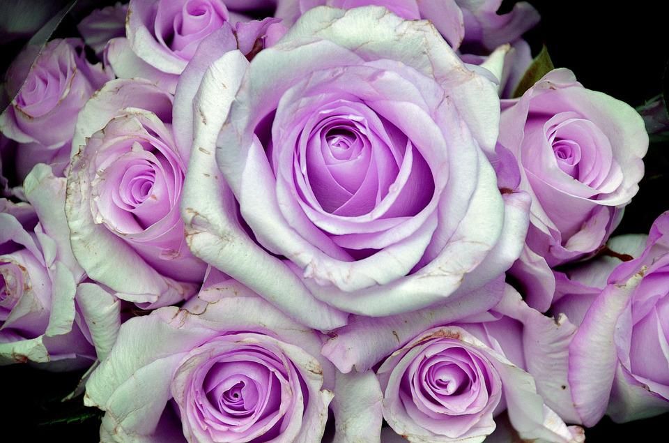 Rose Blume Lila · Kostenloses Foto auf Pixabay