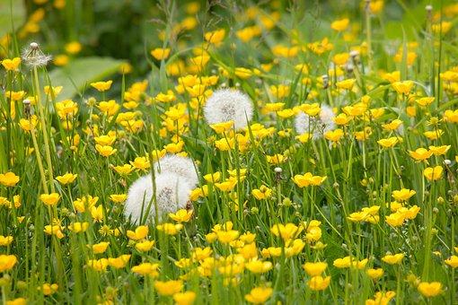 Pusteblume, Butterblume, Löwenzahn