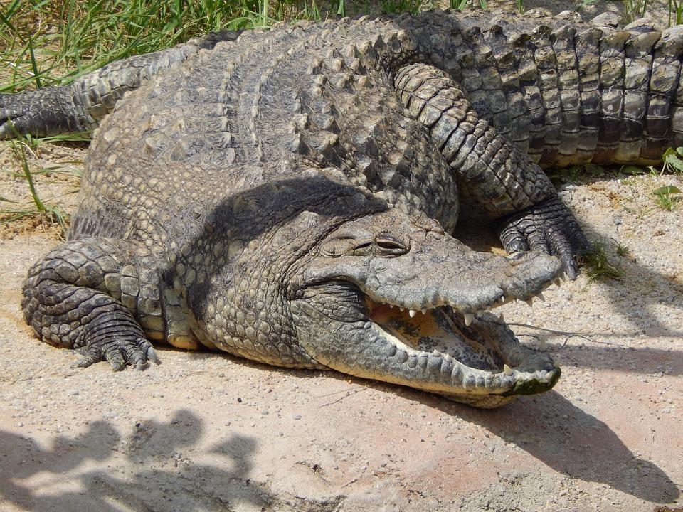 zadarmo foto krokod237l zoo zviera obr225zok zadarmo na