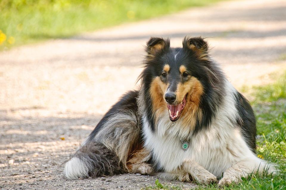 Collie, Dog, Animal, Pet, Dear, Purebred Dog, Tired