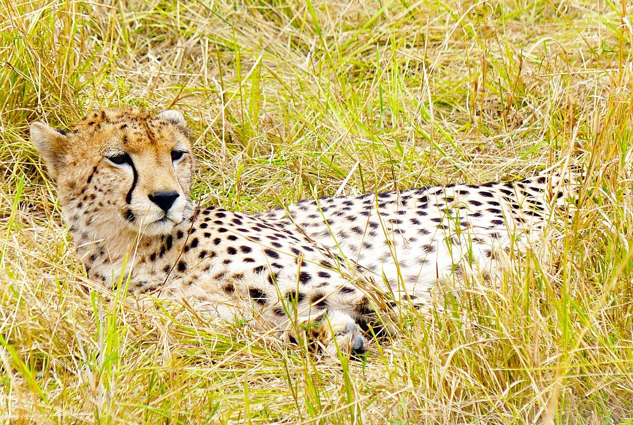период гепард кошки картинки счастье вашу жизнь
