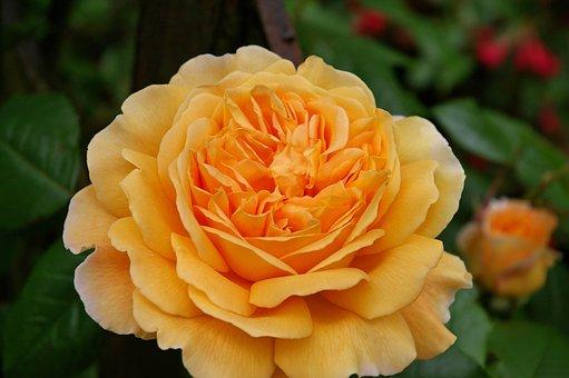 バラ, イングリッシュ ・ ローズ, ばら色の変化, 庭, 花びら, 植物