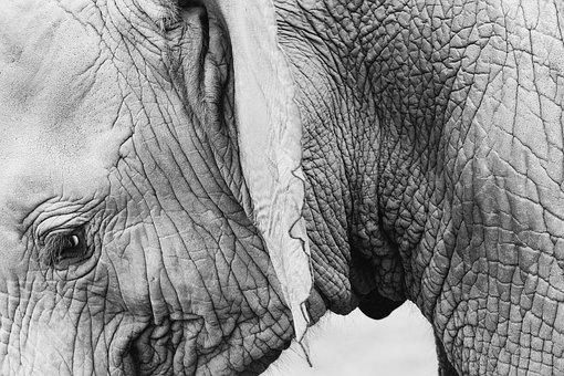 Elephant, Animal, Wildlife, Skin