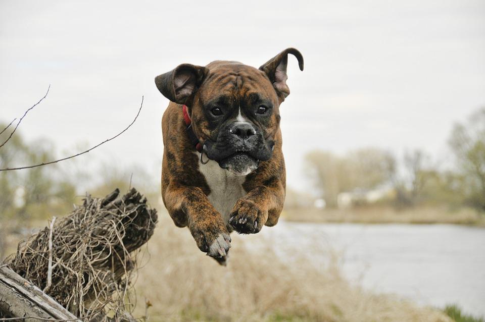 Dog, Flight, Spacer, Boxer, River, Spring, Nature