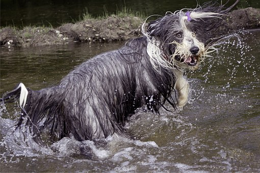 Bearded Collie, Dog, Wet, Hilarious