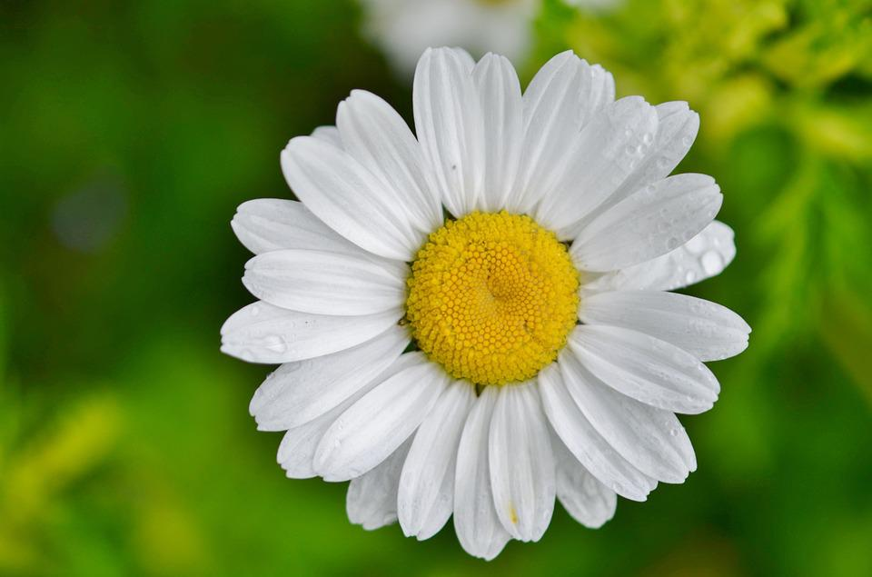 free photo daisy, flower, nature, spring  free image on pixabay, Beautiful flower