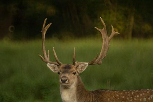 Deer, Antlers, Nature, Mammal, Animal