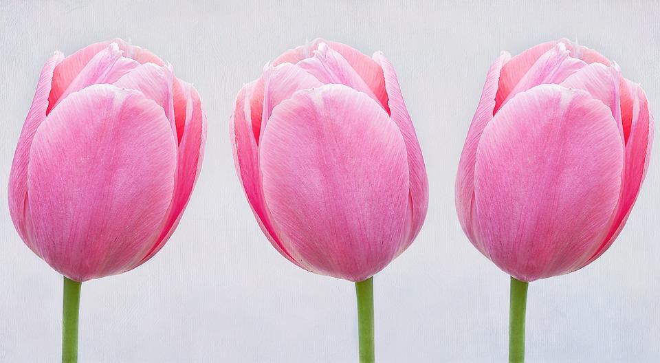 Tulips pink flowers free photo on pixabay tulips pink flowers schnittblume spring flower mightylinksfo