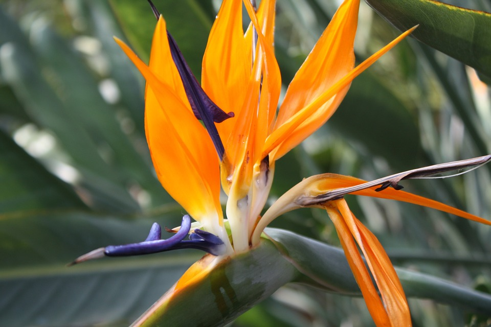 free photo exotic flower, orange, blue, exotic  free image on, Natural flower