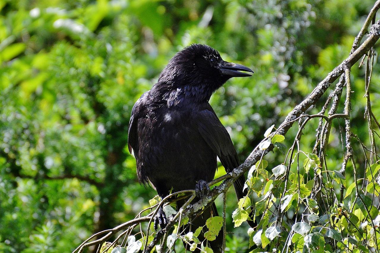 фото черных воронов многие