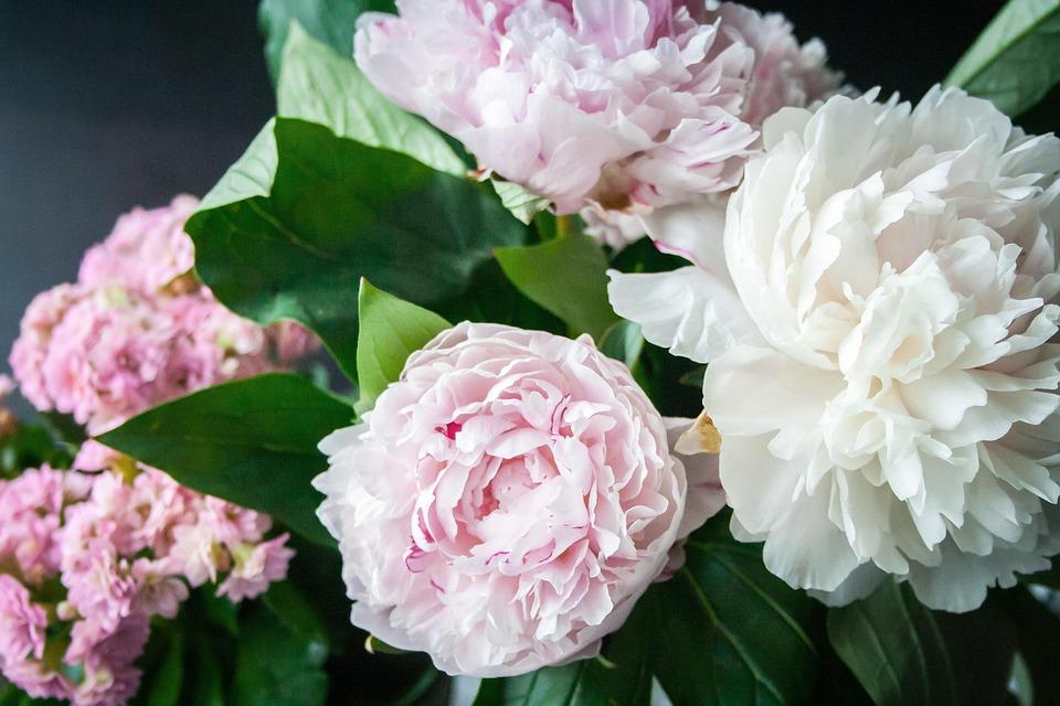 Fiore, Peonia, Bloom, Impianto, Natura, Flora, Rose