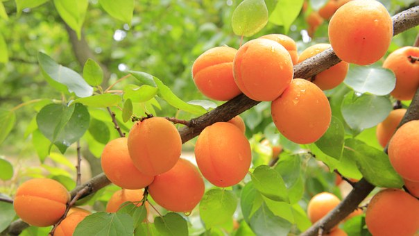 Apricots, Apricot Tree, Fruit, Yellow