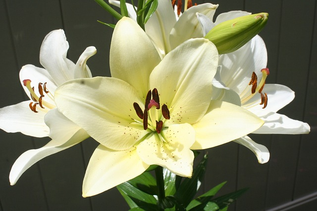 white lily plant gardening free photo on pixabay. Black Bedroom Furniture Sets. Home Design Ideas