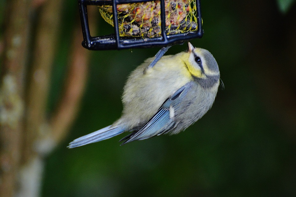 Image result for fat bird at feeder