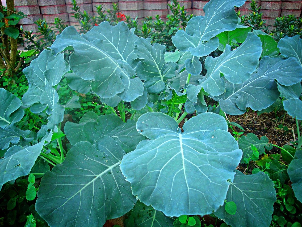 несколько сорта листовой капусты фото с названием страна мира