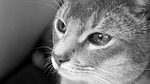 cat, abyssinian, black and white