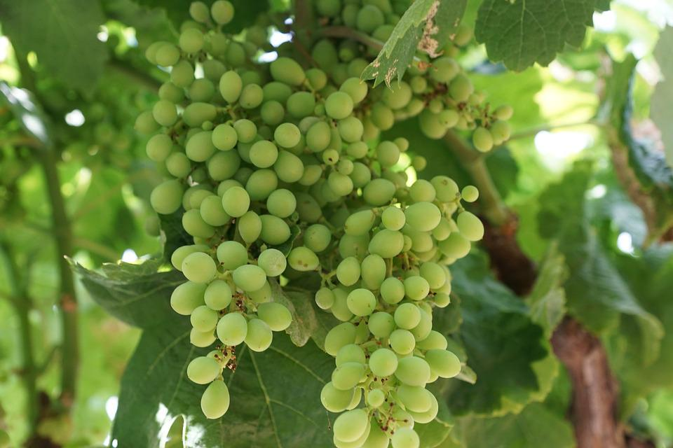 Free Photo Grape Tree Free Image On Pixabay 825343