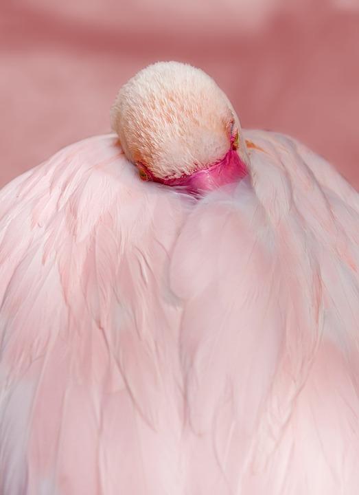 Flamingo, Růžový, Pták, Vodní Pták, Peří