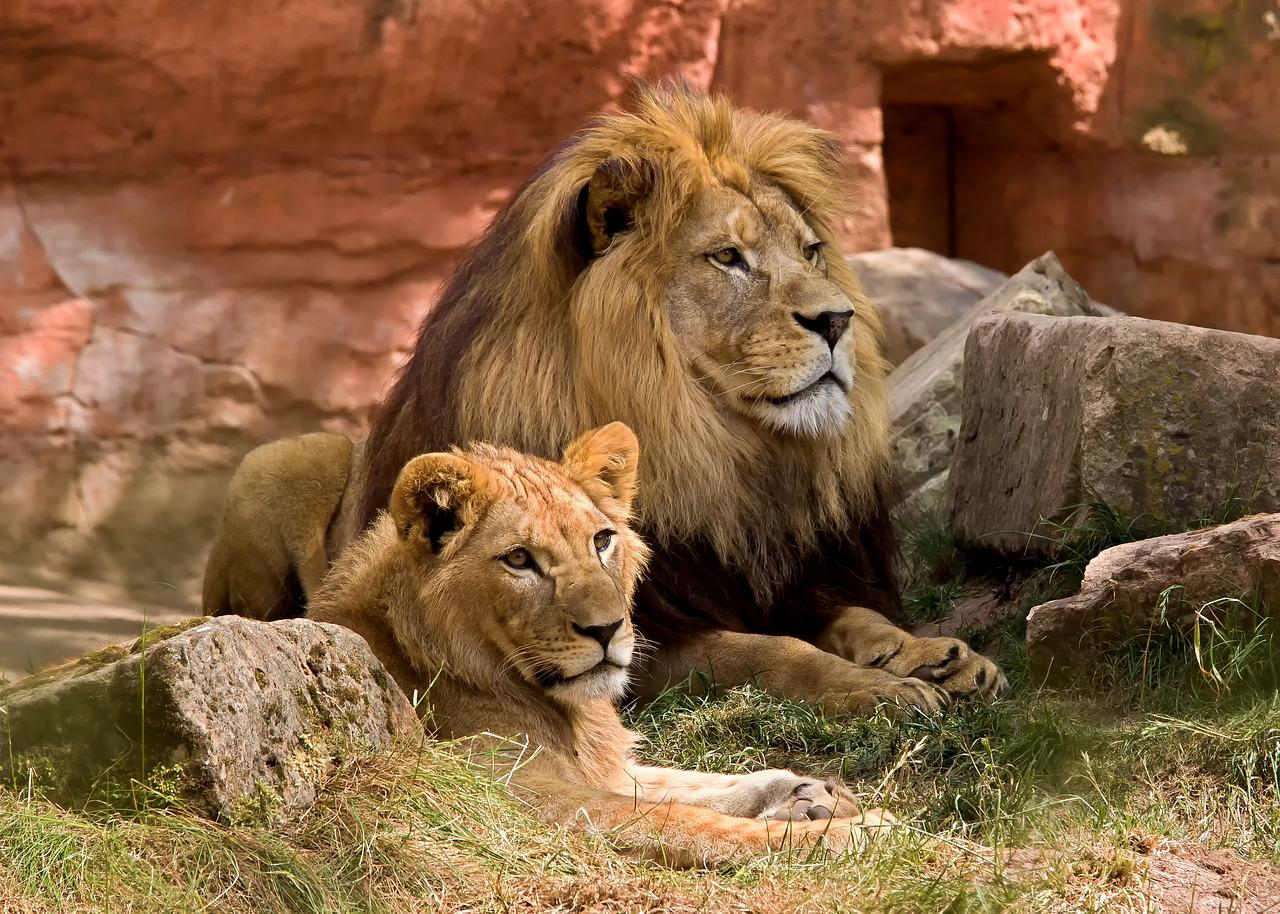 """The movie """"The Lion King"""" was supposed to be called """"King of the Jungle"""", until the filmmakers realized that lions live on the savanna, not in the jungle."""
