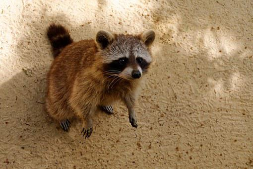 Raccoon, Animal, Cute, Nager, Rodent