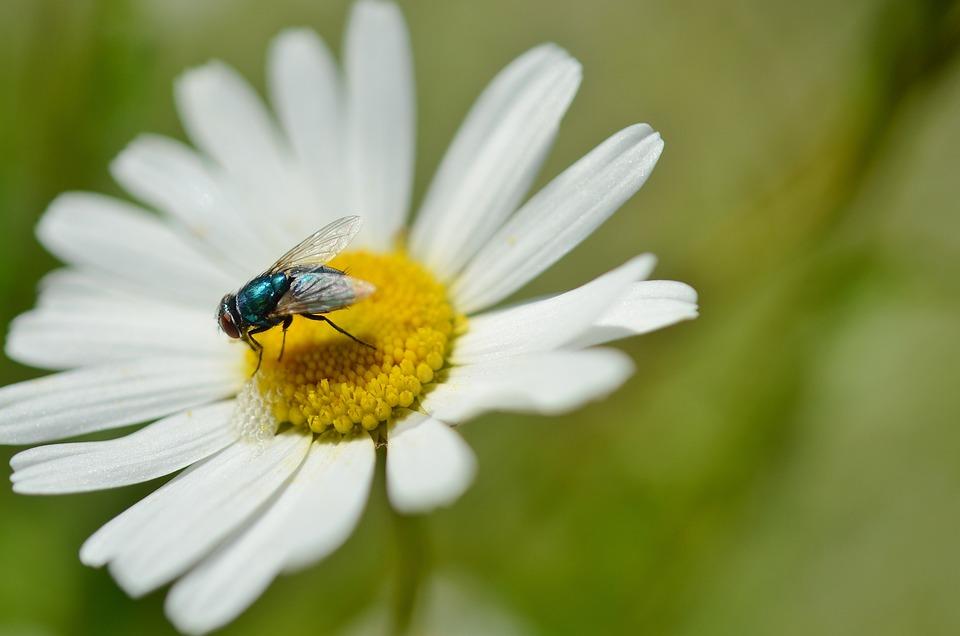 雏菊, 昆虫, 花, 自然, 植物, 动物, 花园, 夏天, 特写, 黄色, 白