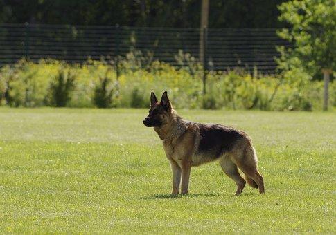 Koira, Saksanpaimenkoira, Seisova, Pet