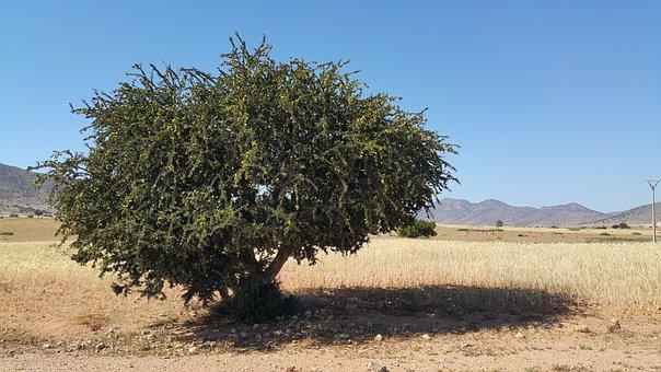 Morocco Argan Oil Desert Tree Morocco Moro