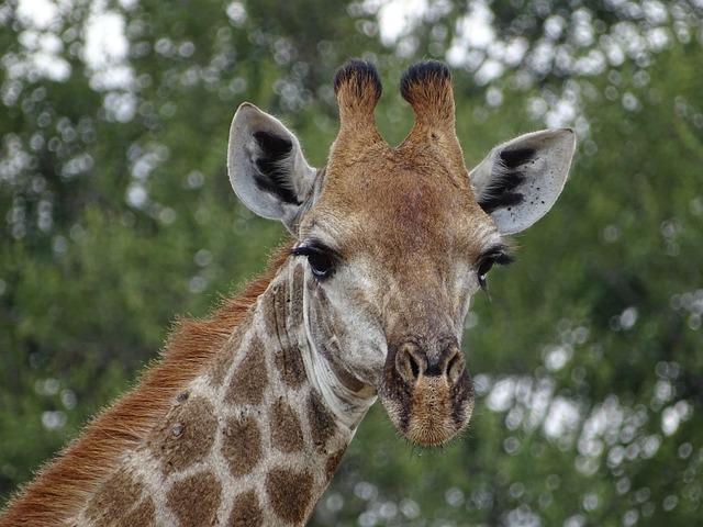 Girafe Afrique Du Sud Animaux · Photo gratuite sur Pixabay