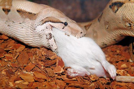 Snake, Boa Constrictor Imperator, Eat