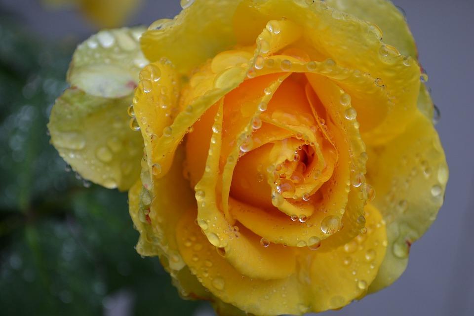 Free Photo Yellow Rose Rose Yellow Rain Free Image
