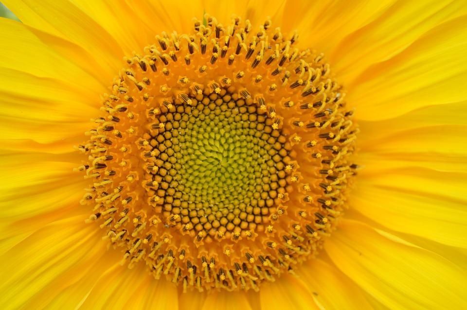 kostenloses foto sonnenblume gelb herz sun kostenloses bild auf pixabay 829967. Black Bedroom Furniture Sets. Home Design Ideas
