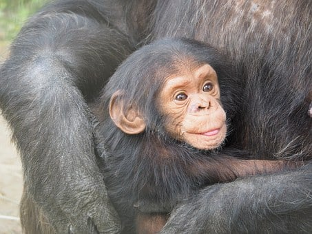 Chimpanzee, Baby, Mother, Love, Animals