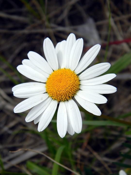 デイジーの花言葉5つ・色別花言葉|和名・開花時期