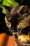 cat, portrait, pet