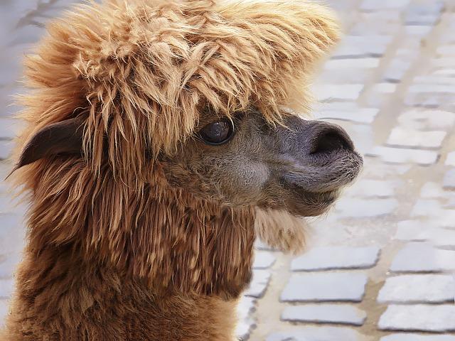 Lama Camel Animal ...