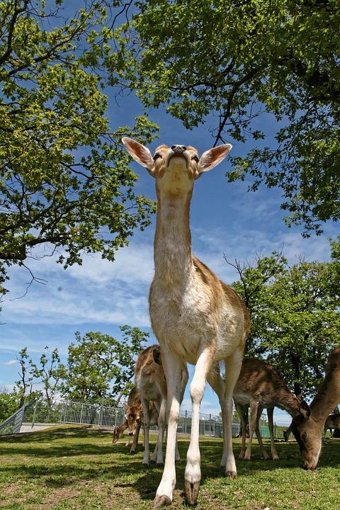 獐鹿, 野生, 休耕鹿, 性质, 好奇, 森林动物, 达姆野, 关闭, 动物