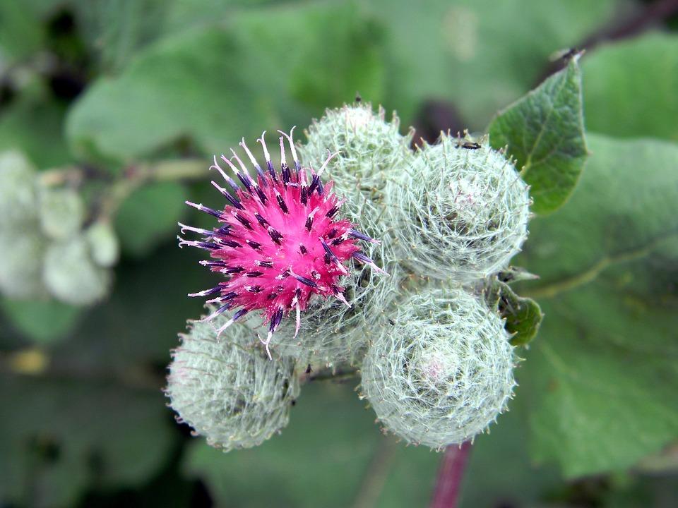Bardana, Agrimony, Bloom, Infiorescenza, Natura
