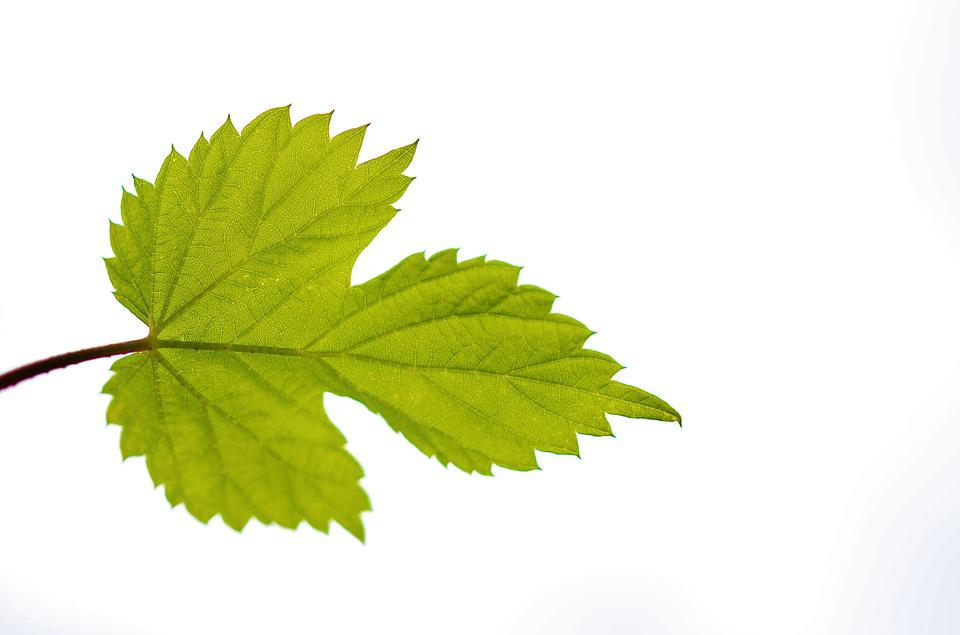 Free photo: Leaf, Green, Nature, Plant, Summer - Free Image on ...