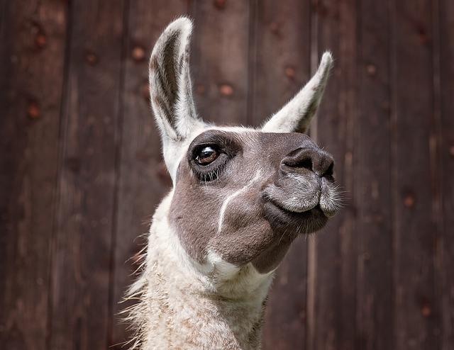 free photo lama camel mammals animal free image on