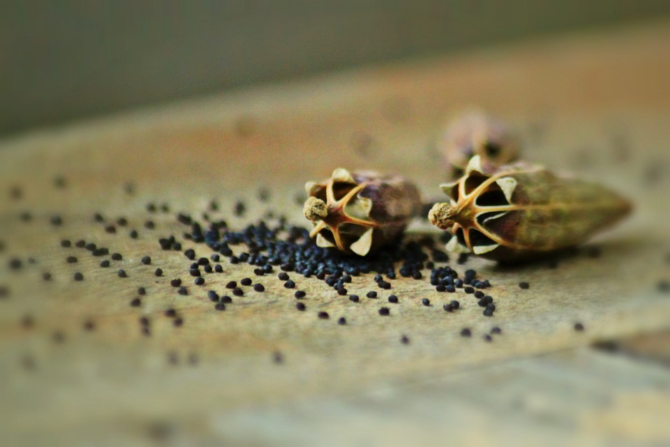 Poppy Capsules, Poppy Seeds, The Poppy Seeds, Poppy
