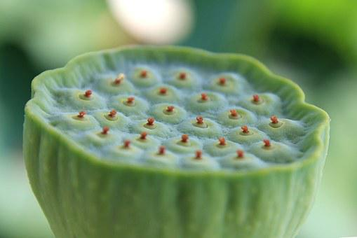 Lotus Fruit, Lotus, Fruit, Plant
