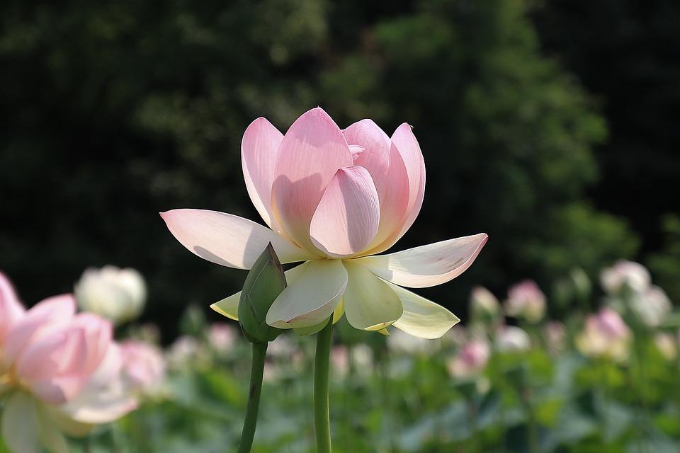 kostenloses foto lotus blume rosa bl te wasser kostenloses bild auf pixabay 833440. Black Bedroom Furniture Sets. Home Design Ideas