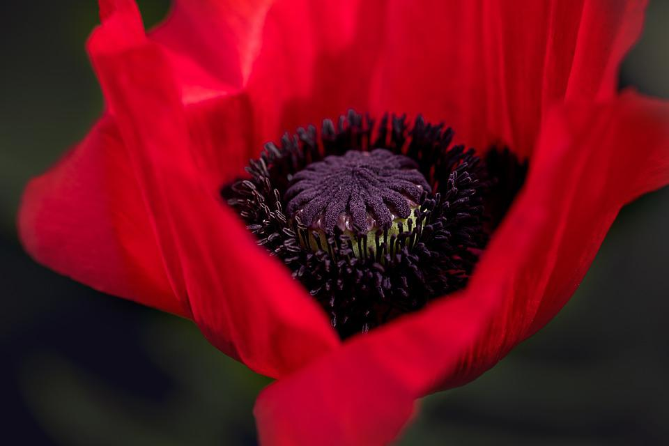 Poppy red flower free photo on pixabay poppy red poppy flower blossom bloom red nature mightylinksfo Choice Image