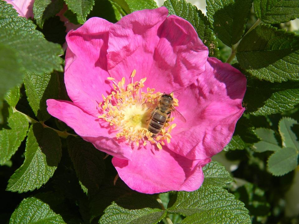 Rose Musquee Abeille Fleur Photo Gratuite Sur Pixabay