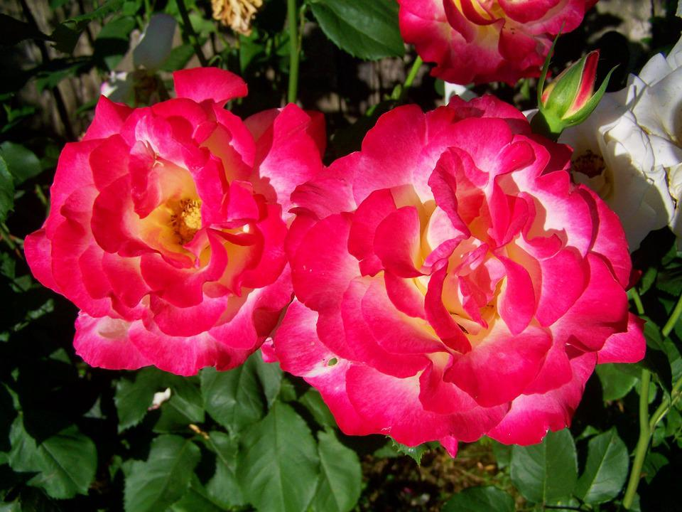 Free Photo Pink Rose Flower Garden Free Image On