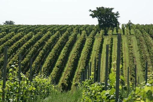 Vineyard, Field, Agriculture, Vine