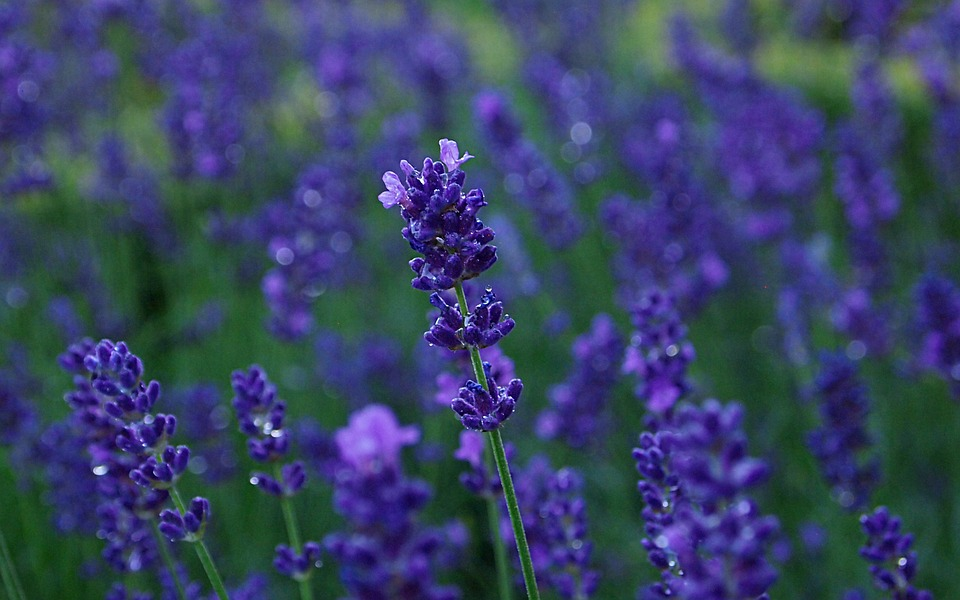 free photo lavender, rain, blue purple flower  free image on, Natural flower