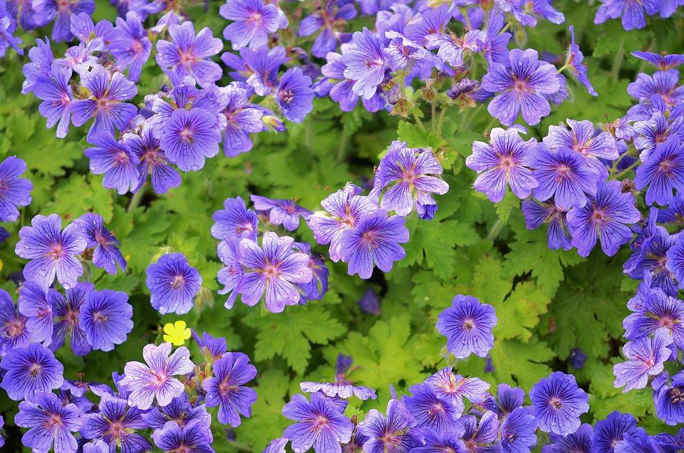 Kostenloses Foto: Blume, Blau, Blumen, Garten, Blühen